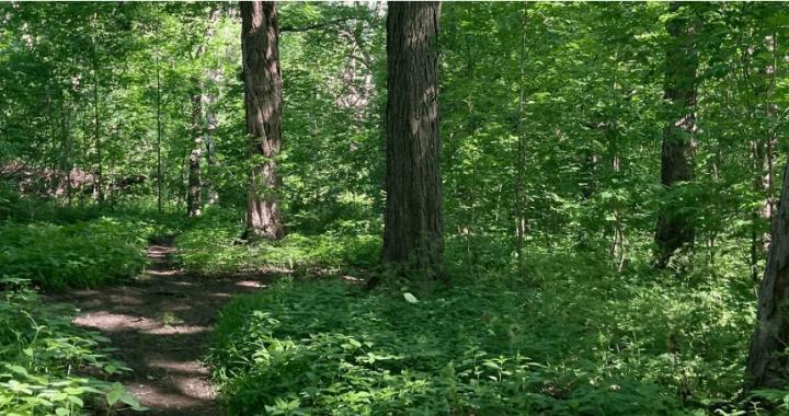 Parc du Mont-Royal : Revégétalisation de sentiers non autorisés